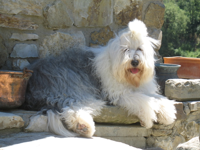 old english sheep dog adult