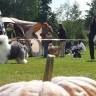 British Sheepdog Clubshow  Austria
